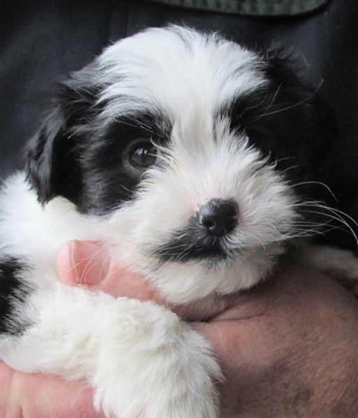 Maltese And Shih Tzu Mixed Dog For Adoption In Paris Kentucky Florence In Paris Kentucky In 2020 Dog Adoption Shih Tzu Shih Tzu Mix