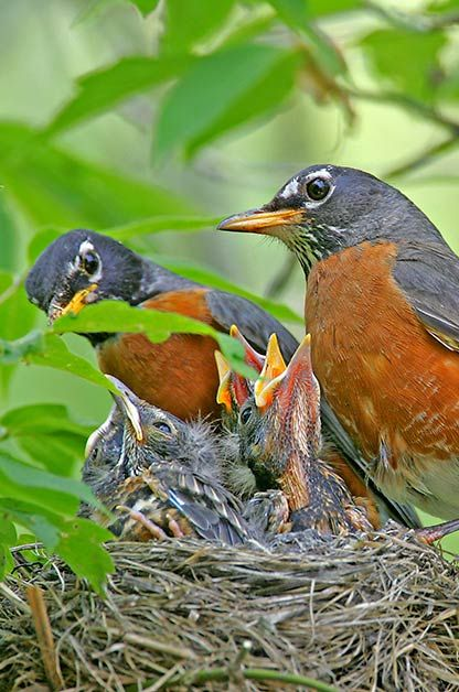 BIRD NESTING 101: Female robins incubate the eggs, but both parents care for the young.: