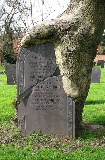 General Cemetery, Nottingham.  Tree growing around tombstone.: