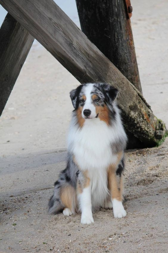 20 Things All Australian Shepherd Owners Must Never Forget The Last One Brought Me To Tears Aussie Dogs Shepherd Dog Breeds Australian Shepherd Dogs