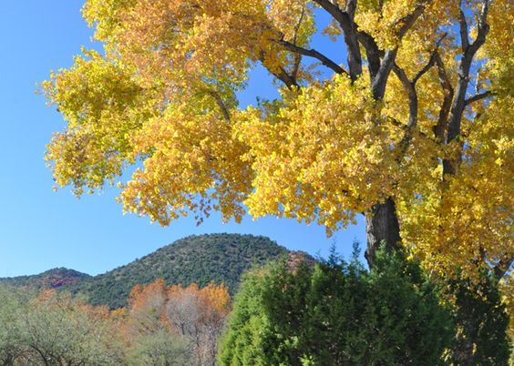 hotograph of a yellow fall tree on the outskirts of Sedona, Arizona.    This photograph is included in the photo gallery of trees especially for framing and inclusion in your home design. This picture art will also enhance your office décor and be a conversation piece.