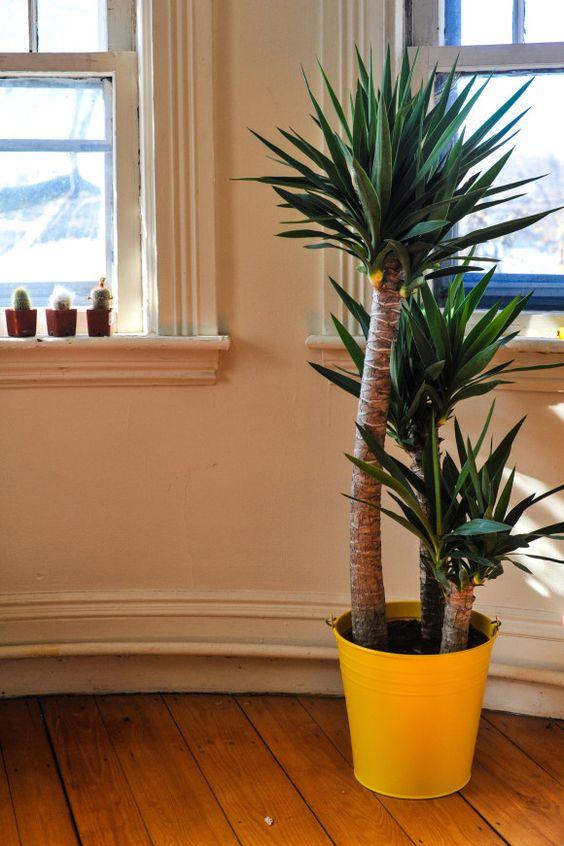 Yuca Tree - happy new addition :)