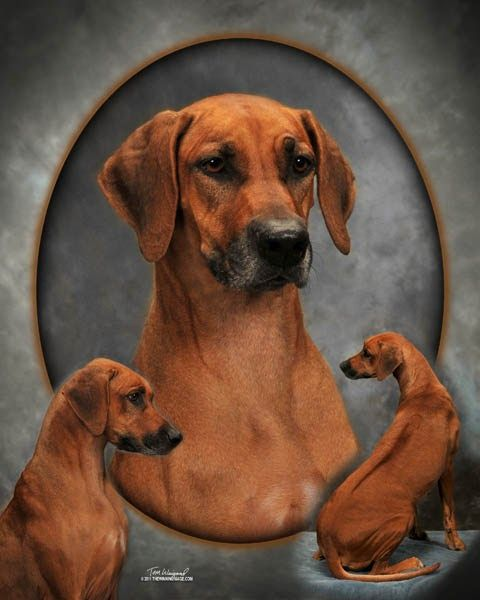 Rhodesian Ridgeback Puppies For Sale In Texas Rhodesian Ridgeback Puppies Puppies For Sale Puppies