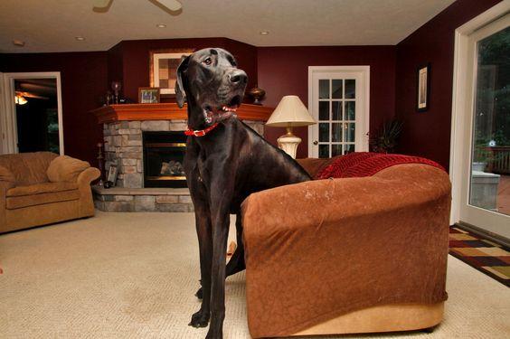 Il cane più grande del mondo Zeus, il mastino tedesco alto 1,12 m al garrese e lungo 2,24 m dalla testa alla coda,  www.davverostrano.com