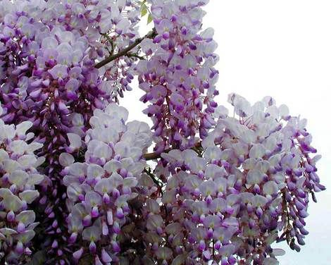 All About Gardening And Nature The World S Largest Wisteria Vine And Its History Wisteria Flowers Vines