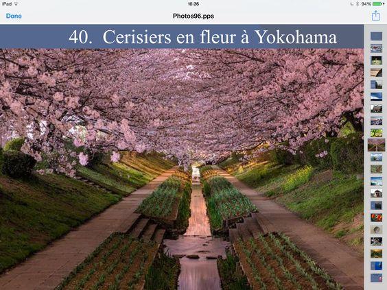 Cerisiers en fleur à Yokohama