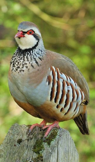 We have a family of red-legged Partridges that visit our garden regularly to feed ...
