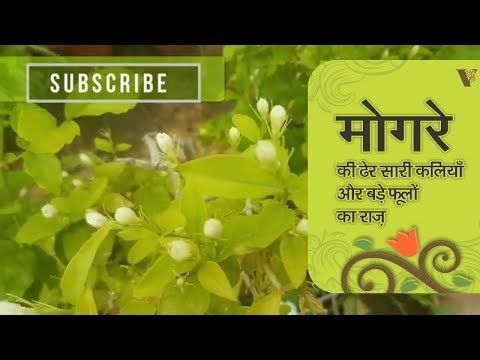 ज न म गर क ढ र स र कल य और बड फ ल क र ज I How To Get More Buds On Jasmine Youtube Garden Care Garden Plants Flower Garden
