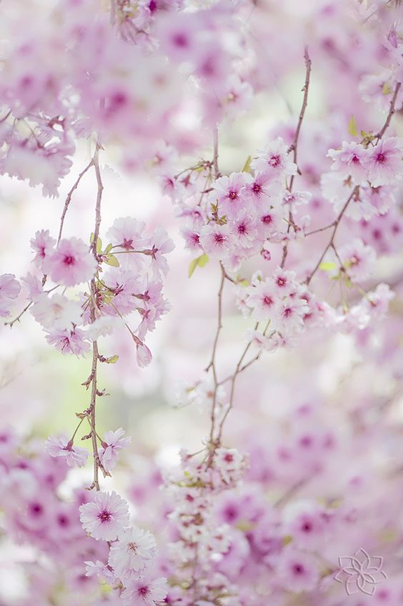 ~~Pink Ballerina | Japanese Flowering Cherry | by Jacky Parker~~: