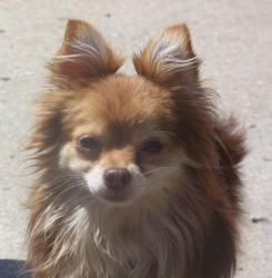 Zippy is an adoptable Pomeranian Dog in Sedalia, MO. This guy belongs in a city, proudly walking with his person. You should see the way he prances along next to you. He is just a bit shy, so would mo...