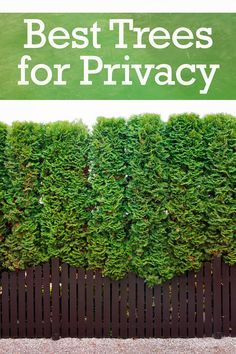 The Top 10 Trees For Backyard Privacy Privacy Landscaping