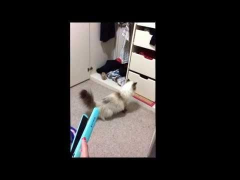 Hair Straightener Sound Scares The Cat - #funny #cat