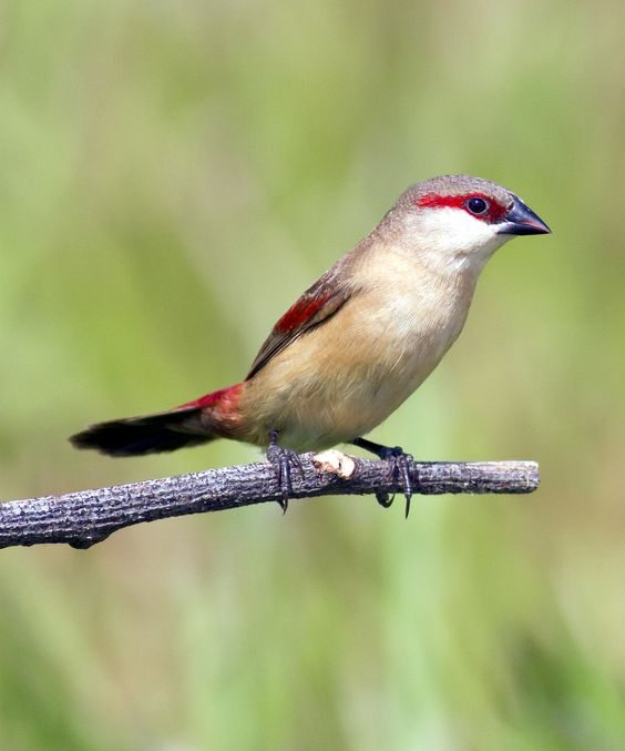Crimson-rumped Waxbill  | Flickr -  © Chong Lip Mun