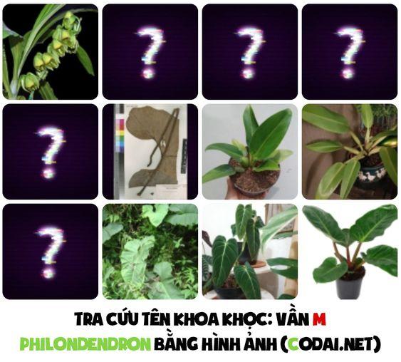 Tra cứu nhanh tên khoa học các loài Philodendron bằng hình ảnh: Philodendron bắt đầu bằng vần M