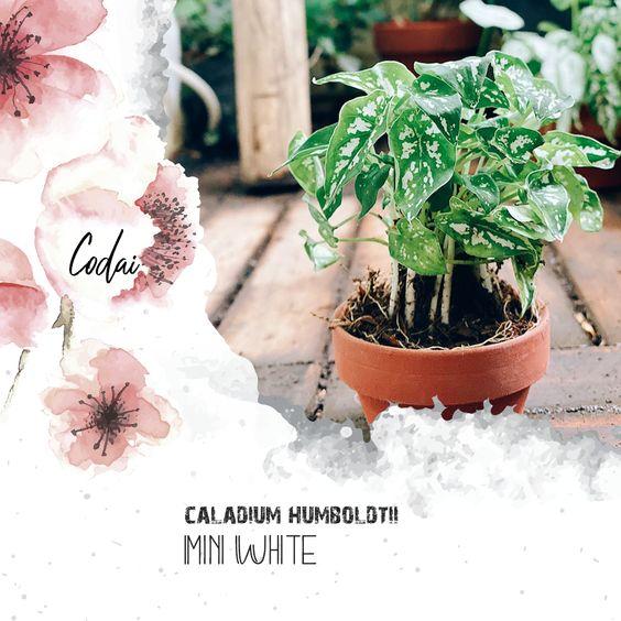 Cây Caladium humboldtii mini White – Môn Mini Trắng