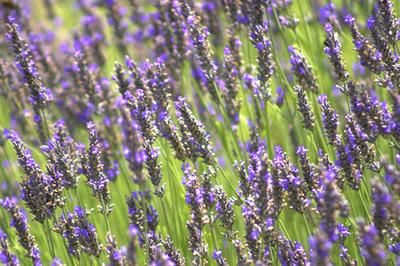 Lavender Oil as a Bug Repellent... so by using Lavender in the wedding, I will be helping to keep bugs away!