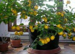 Faire-pousser-du-citron-chez-soi-500x267