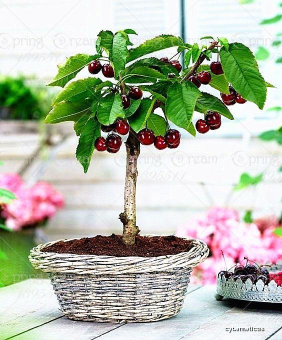 Bonsai Cherry Tree Seeds Bonsai Fruit Tree Bonsai Tree Garden Plant Pots