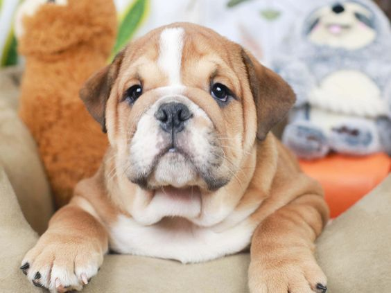 This Tan And White English Bulldog Is The Cutest Puppy Bulldogs