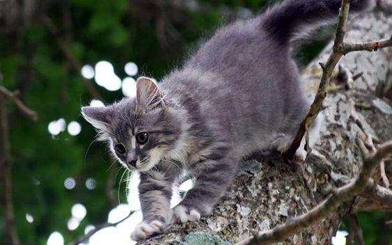 . Un gato no puede bajar un árbol con la cabeza hacia abajo, porque sus garras se tuercen en sentido contrario