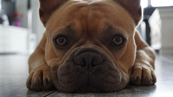 French Bulldog Face Snout Paws Eyes Buldog Buldok