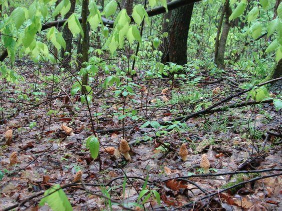 morel mushrooms pics - Bing Images
