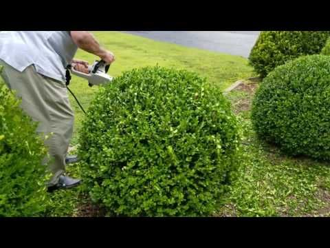 How To Trim A Perfectly Round Shrub Youtube How To Trim Bushes Boxwood Landscaping Shrubs