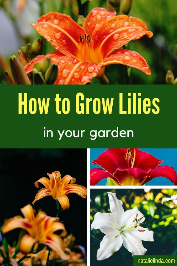 How To Plant And Grow Lilies Growing Lilies Herb Garden Design