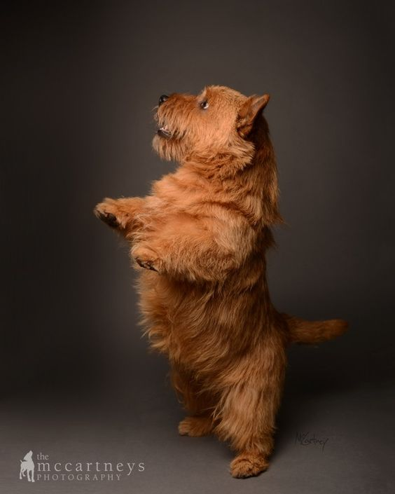 Norwich Terrier - I just think they are the sweetest!. Every year I watch the Westminster and every year I say I want one.