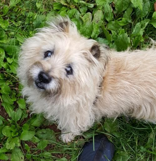 Shekel In Pa Is An Adoptable Dog Cairn Terrier Searching For A