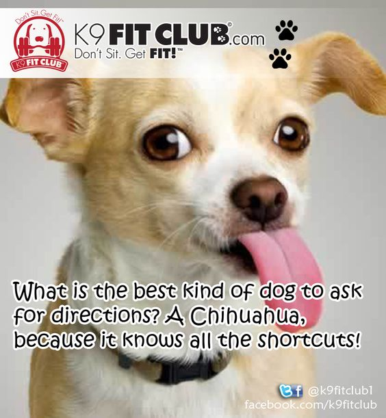 chihuahua puns a chihuahua joke k9 fit club daily dose of dogs 6539