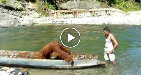 Orangotango Apodera-se De Canoa e Fica Profundamente Irritado Quando o Proprietário Tenta Recuperá-la