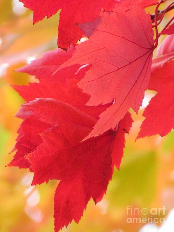 Autumn Leaves Nature Pinterest Hojas, Otoño y Hojas de otoño