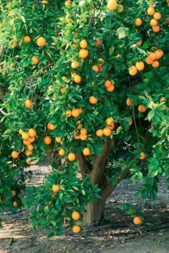 We had orange trees in our yard, in the San Fernando Valley. We lived in the foreman's house on an old grove.