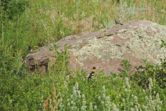 Spotted Towhee with Black-Headed Grosbeak ©Steve Frye. Wild Bird Company - Boulder, CO, Saturday Morning Bird Walk in Boulder County - July 18, 2015.