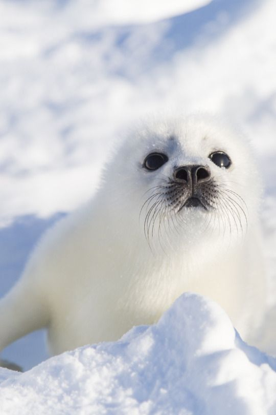 This beautiful baby seal may be one of thousands each year who are beaten to death with a club. The fur is worth a great deal of money. This takes place in CANADA!