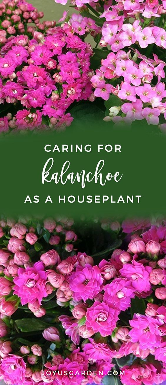Kalanchoe Care As A Houseplant In The Garden House Plants