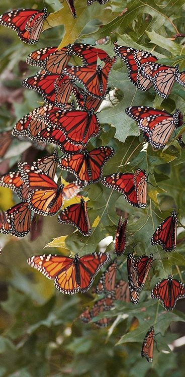 Mariposa Monarca Butterflies!                                                                                                                                                                                 Más: