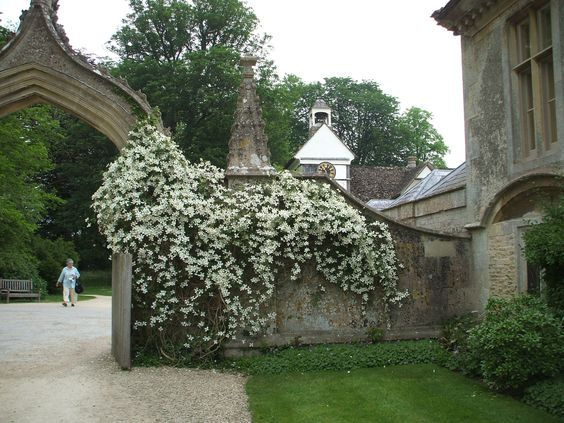 Evergreen clematis Cotswolds--dm