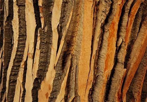 Cottonwood tree bark.: Nature, Textures Patterns, Cottonwood Bark, Natural Pattern, Patterns Textures, Cottonwood Tree, Bark Photograph