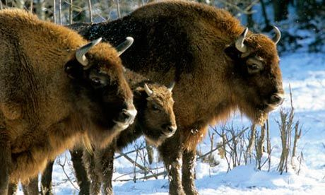 Must go visit the Białowieża National Park (Białowieski Park Narodowy), 245 km east of Warsaw! In Europe's last primeval forest, on Poland's border with Belarus, experts are fighting to protect the zubr, or European bison.