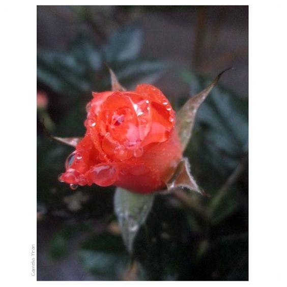 #mưa vẫn rơi...#rose #flower #rain
