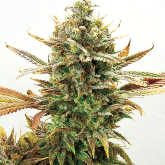 Super Critical Bud CBD | Skunk no1 x Durban | Cannabis Seeds