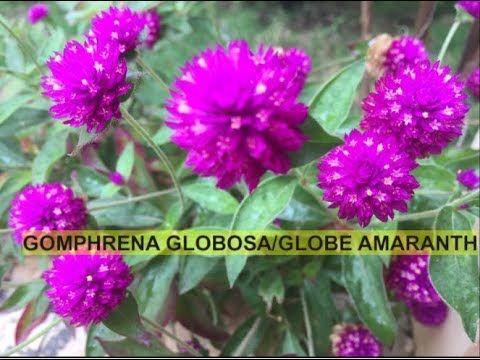 How To Grow And Care Gomphrena Globosa Globe Amaranth Bachelor Button Youtube Globe Amaranth Bachelor Button Flowers Bachelor Buttons