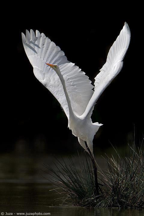 egret taking off: