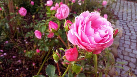 Herbstlicher Spaziergang durch Middelhagen | Rosen im Garten von TO HUS in Middelhagen (c) Frank Koebsch (1) #wirsindinsel! #rügen #middelhagen