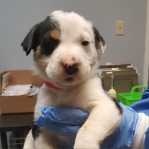 Cattle Dog Black Labrador Retriever In Austin Tx Dogs Puppy