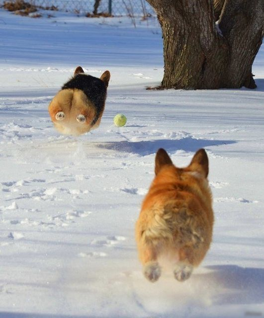 ボールを追いかけるコーギー