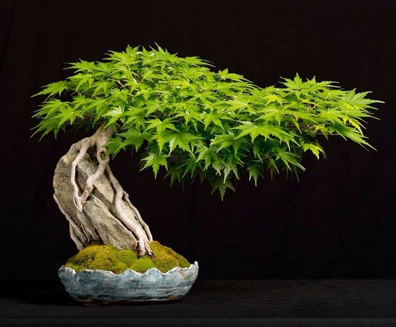 Bonsai -- Root over rock maple