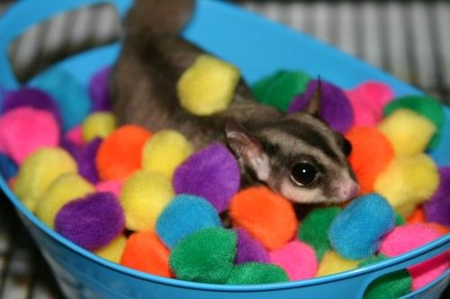 Sugar Glider Ballpit Toy= pom poms in a container.